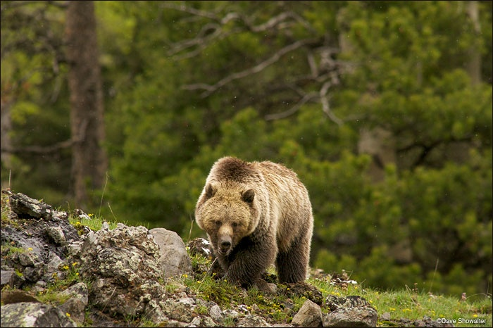 Congress seeks species law changes after grizzly hunt barred
