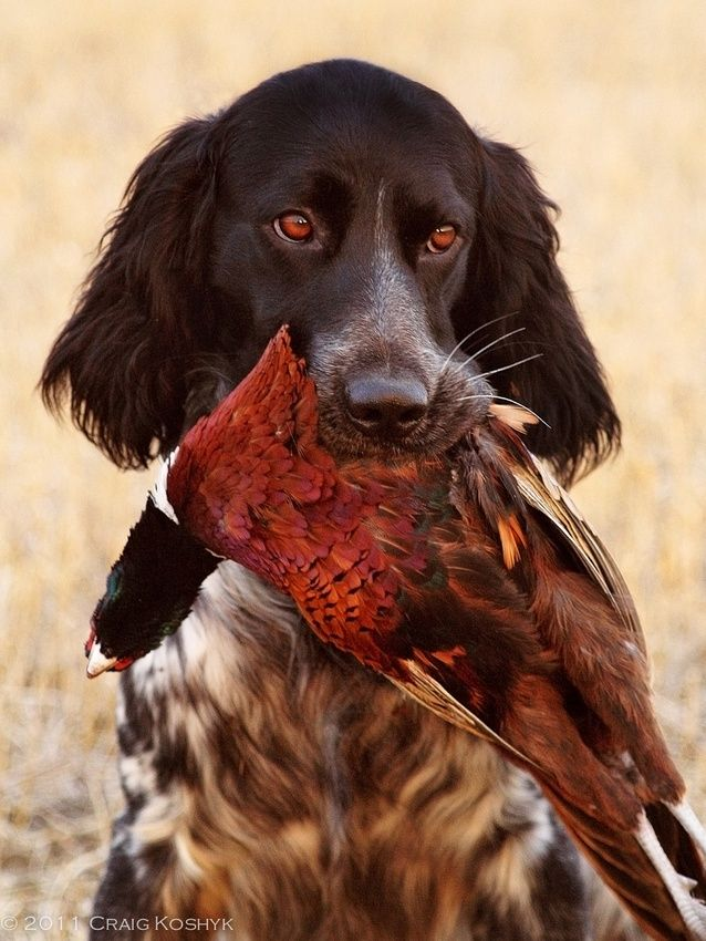 17 Best images about Hunting Dog Pics on Pinterest | Coon ...