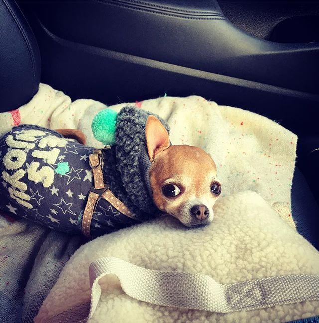 ☆ #花 🐶 #お散歩🐾  車移動にふてくされ気味💦 助手席でお散歩バックにアゴ乗せ💓 ☆ #犬 #愛犬 #mix犬 #チワワ #ロシアントイテリア #3歳 #女の子 #甘えん坊 #やんちゃ姫 #愛犬との暮らし #dog #hana #mixdog #chihuahua #russiantoyterrier #cute #instadog #dogstagram #doglife🐾
