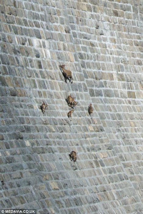 Head for heights: These incredible pictures show the moment a herd of sure-footed mountain goats climbed up an almost vertical dam in search...