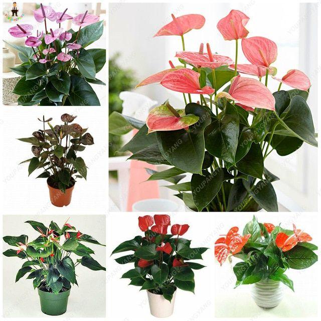Hot Sale 50pcs Anthurium Plants Beautiful Rainbow Anthurium Garden Flowers High Survival Rate Bonsai Anthurium Plant Beautiful Flowers Garden Flower Seedlings