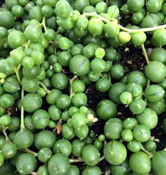String of Pearls plant is an unusual succulent that's easy to grow indoors with little attention. Put String of Pearls succulent plant in a hanging basket to show it off.