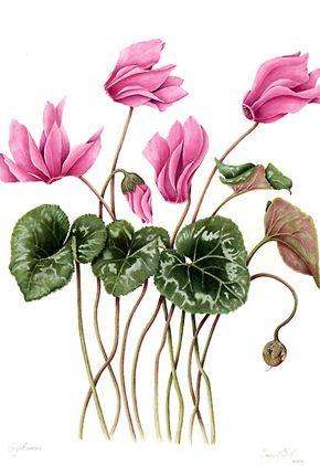 Botanical illustrations by Margaret Best