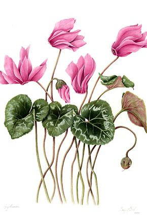Botanical illustrations by Margaret Best