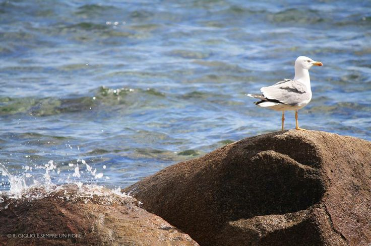 isola del giglio - seagul