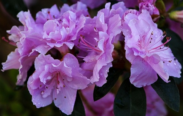 Purple azaleas.  Four English words, start with R