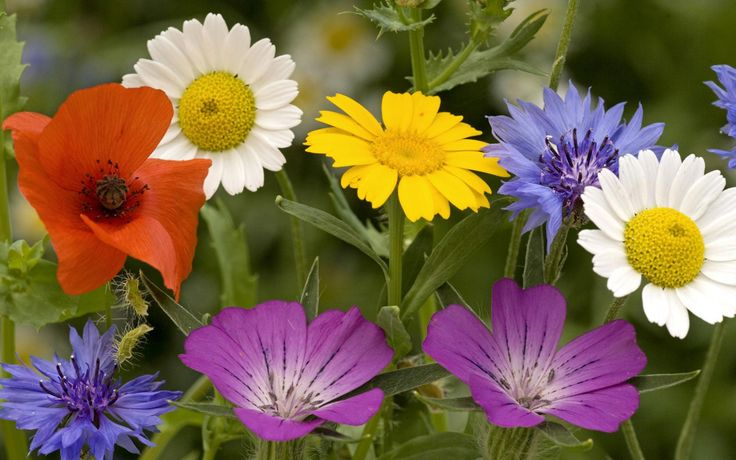 Actresses Flowers Beautiful Colorful Wild Free Hd   Wallpaper
