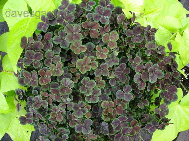Trifolium Repens Dark Dancer Black Four Leaf Clover