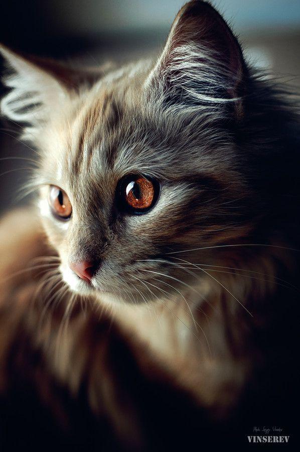 brown-eyed cat