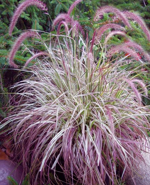 11 best images about ornamental grasses on pinterest for Ornamental grass with purple plumes