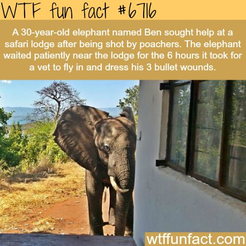 Elephant gets shot by poachers, then goes to find rescue - WTF fun fact
