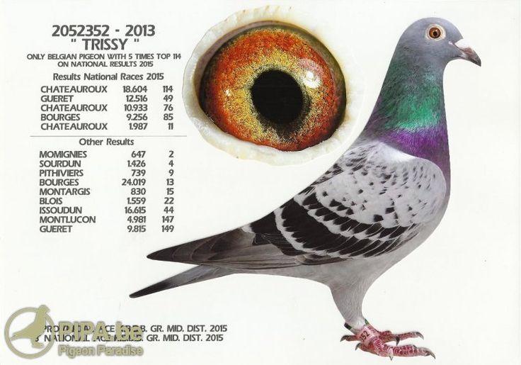 Jef Vanwinkel (Tielt-Winge, BE) gets in the picture again in 2015 | Pigeon Paradise