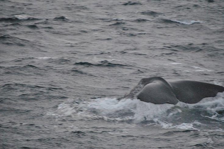 Fotografare la coda di una balena non è facile #MagicNorway