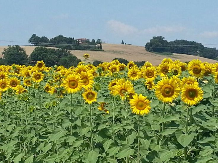 Sunflowers field at Fontelunga. The best time to see the sunflowers is end of July