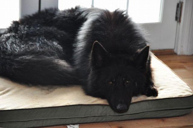 black shiloh shepherd.
