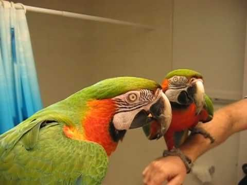 Parrot shushes another parrot in the next room  This parrot is trying to talk to himself, but another parrot keeps interrupting…