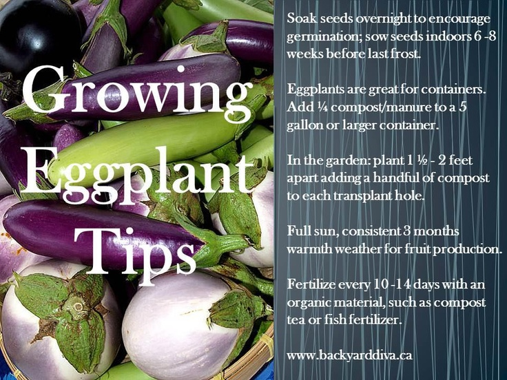 Tips For Growing Eggplant (including Container)