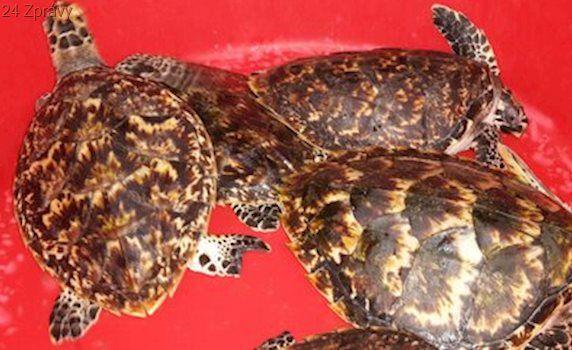 Zoo Brno spustilo projekt Kura Kura: V Indonésii zachraňuje zraněné mořské želvy