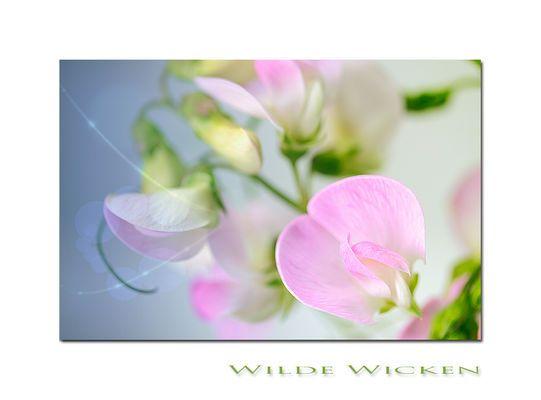 Wilde Wicken