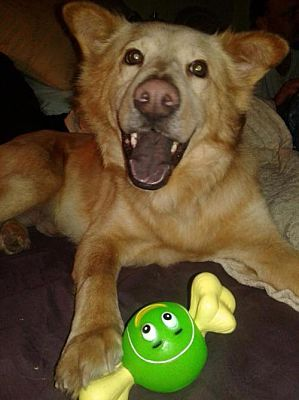 New York Ny Chow Chow Meet Simba Tx A Dog For Adoption