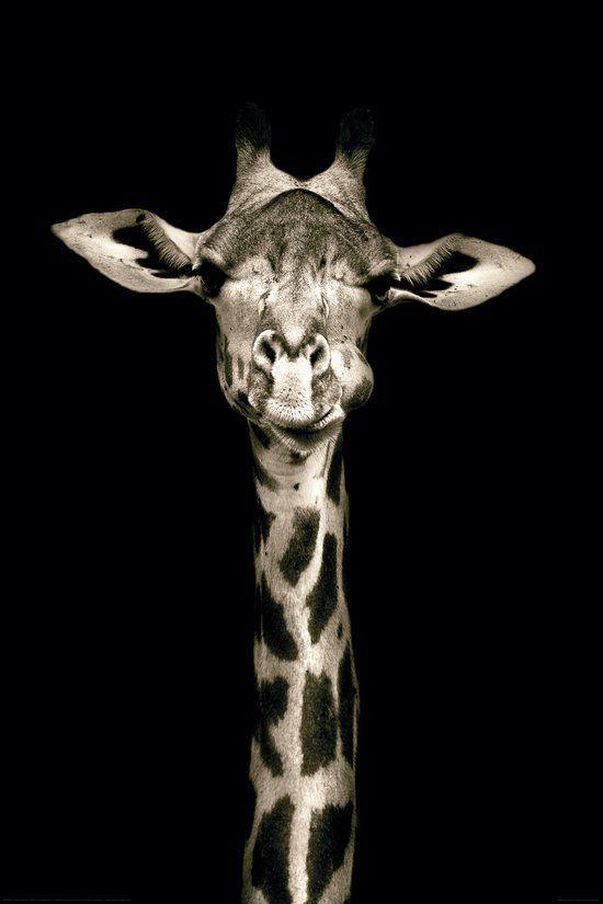 REINDERS Giraffe - Poster - 61x91,5cm