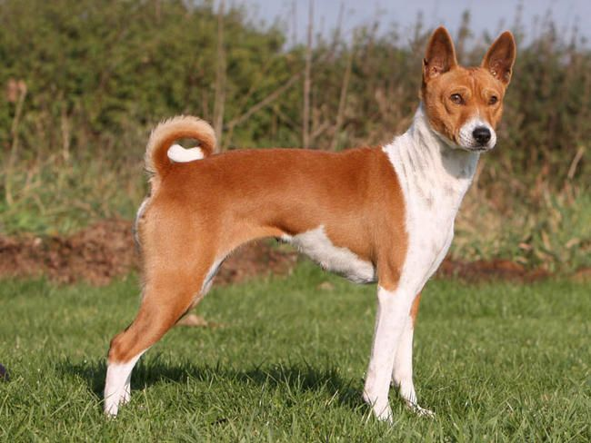 Photo chien Basenji - 4758 - Wamiz