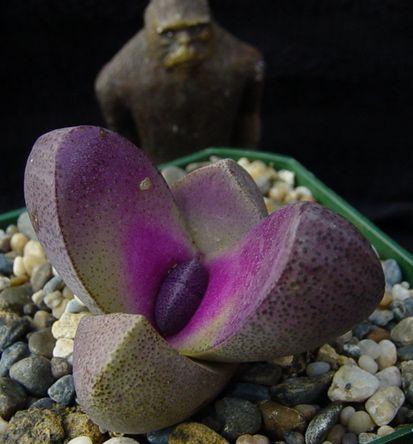 Les 25 meilleures id es de la cat gorie mimicry plant sur pinterest plantes fra ches plantes - Plant de rhubarbe a vendre ...