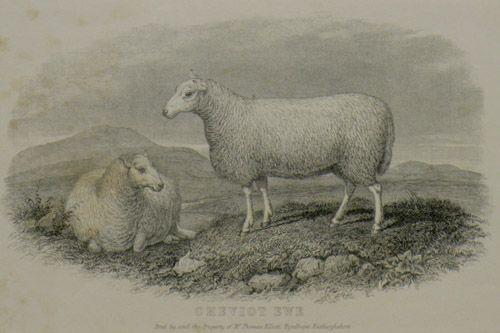 Cheviot Ewe.