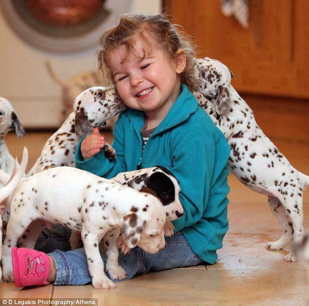 Dalmatian puppies loving on little girl.