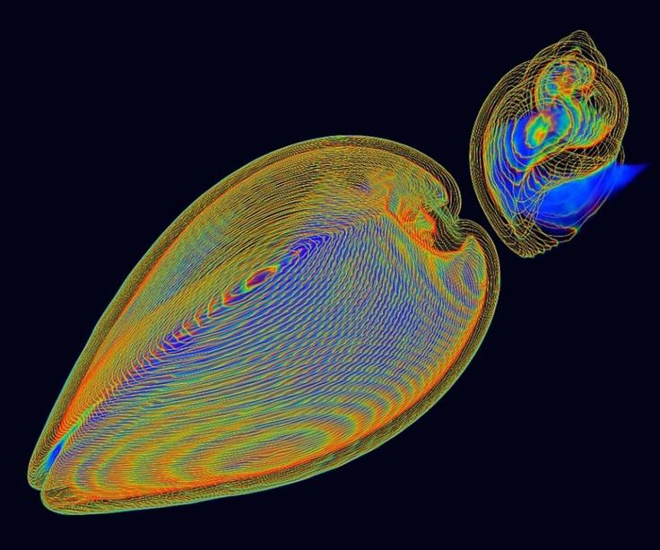 Żywy małż (po lewej) i trąbik. Dzięki umiejętności błyskawicznego zamykania swojej muszli, małż potrafi uchronić się przed drapieżnikiem. Zdjęcie wykonano za pomocą tomografu komputerowego 3D.