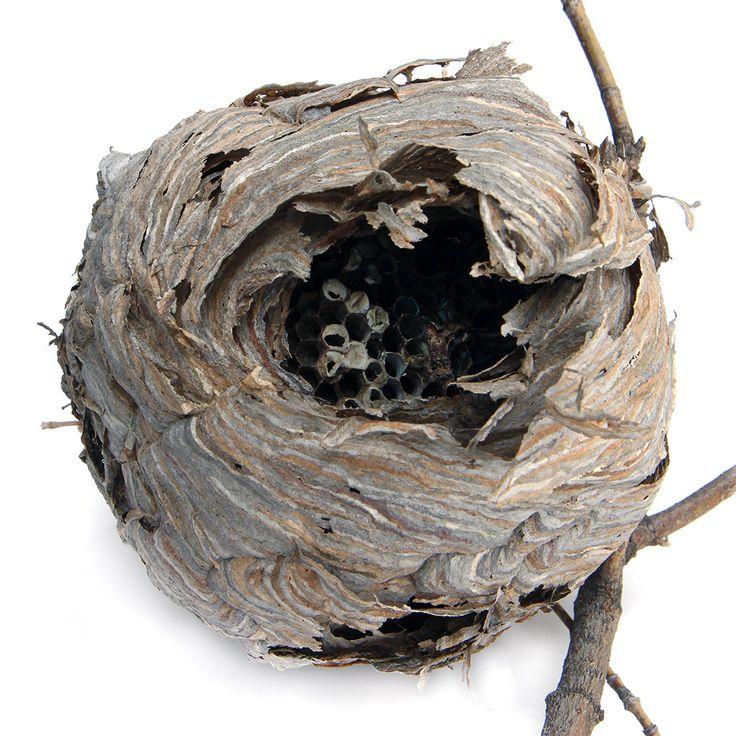 paper wasp nest from a large oak tree overhanging our driveway | STILL