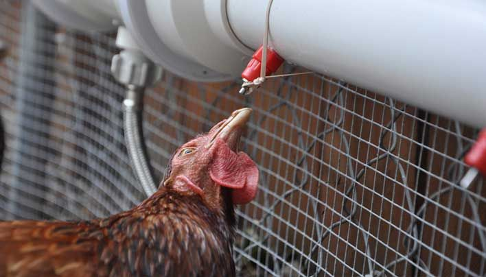 How to Build an Automatic Watering Tube for Your Chickens JULY 30, 2013 POSTED BY P. HENRY