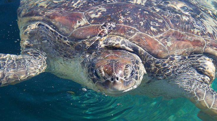 Observation des tortues de mer - Appelées en créole « torti d'mer «, pouvant mesurer jusqu'à 1,20 mètre et peser 250 kg, les tortues marines sont une espèce menacées. Elles ont été rassemblées dans le centre d'observation Kélonia où les spécialistes veillent sur elles.
