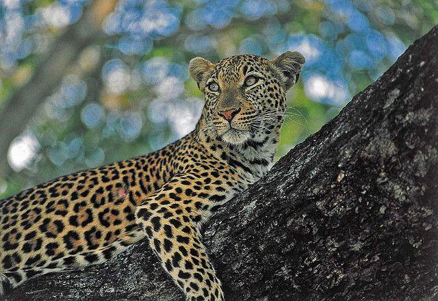 36 best Lazy Leopard images on Pinterest | Leoparden, Lazy und ...