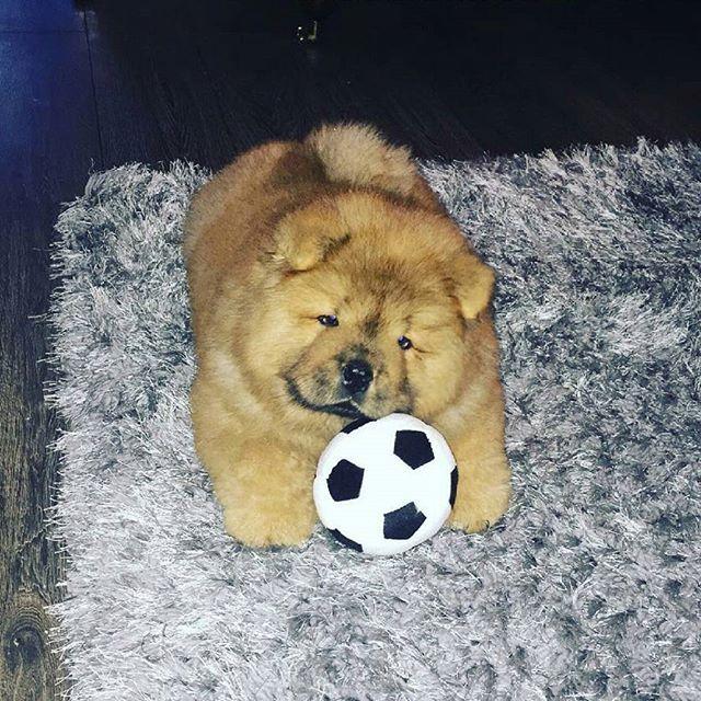 💞😍💞 PHoTo : @sineaddavidson88 💞😍💞 #animals #animal #pets #pet #dogsofinstagram #dog #puppy #instapuppy #puppies #woof #fluffy #paws #cachorro #perro #собака #щенок #anjing #baby #hound #teddybear #love #yavru #babyanimals #hund  #chowchow #chowchowpuppy #강아지 #ペット #犬 #개  _____________________________ MY SPESIAL CHOW FRIENDS :  @SDSTaSiuK @DIGSBY_N_CiNDeReLLa_THe_CHoWS  @KHePeLKHaN.CHoWCHoW  TaG YouR FRieNDs :👇👥👇