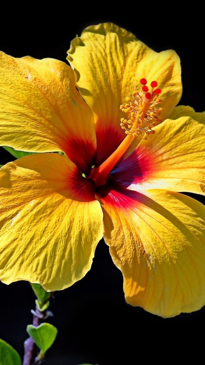 Earth Hibiscus Flowers Flower Yellow Flower Close Up Mobile Wallpaper Beautiful Flowers Pictures Flower Iphone Wallpaper Flower Close Up