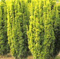 Taxus baccata Fastigiata Aurea, Golden Irish Yew