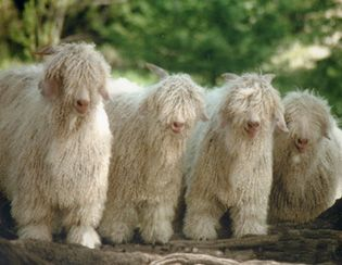 Angora goats -- beautiful!