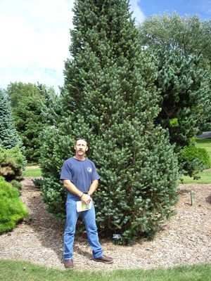 Columnar Norway Spruce Height 20 30 Ft Spread 6 10 Ft Trees And Shrubs