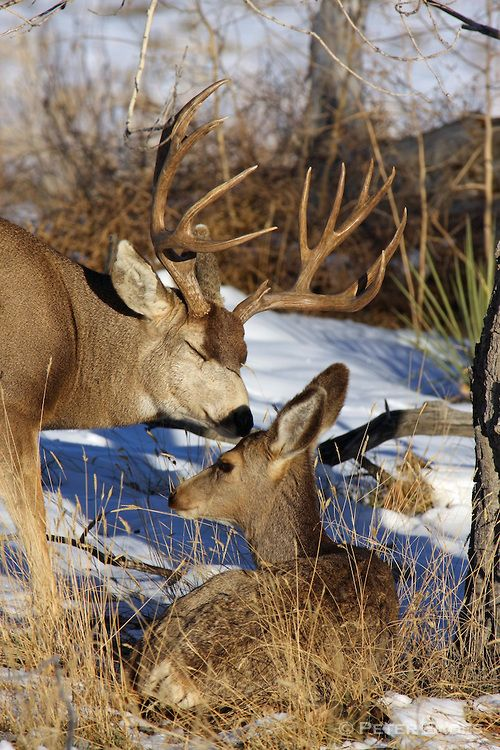 MULE DEER....aka burro deer (for their big ears)....a deer found in western North America....stands 31–42 inches tall at the shoulders....measures 3.9 to 6.9 feet long....large ears that move independently of each other
