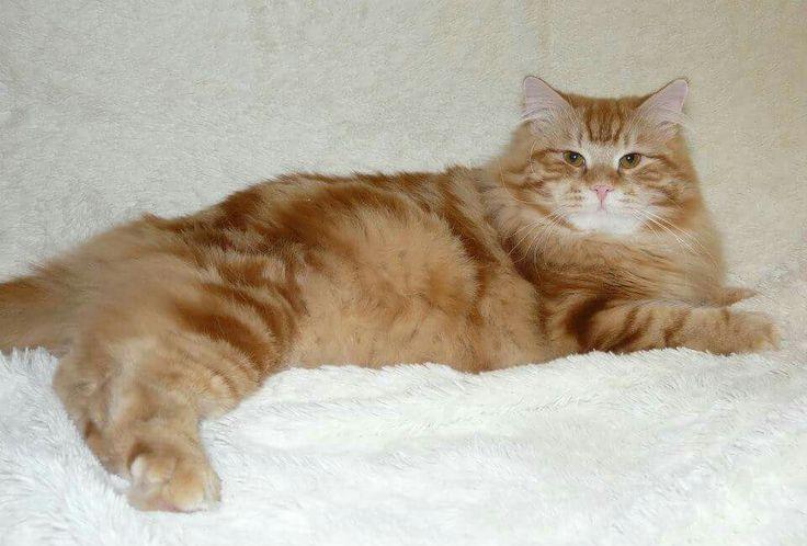 Сибирские кошки питомник Great Joy