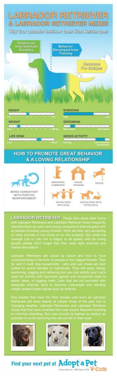 Everything you ever wanted to know about Labrador and Labrador mixes. www.adoptapet.com
