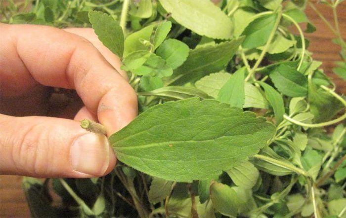 Θέλετε να Σταματήσετε το Κάπνισμα;Αυτό το Βότανο θα Σταματήσει την Επιθυμία σας για Νικοτίνη  #Υγεία