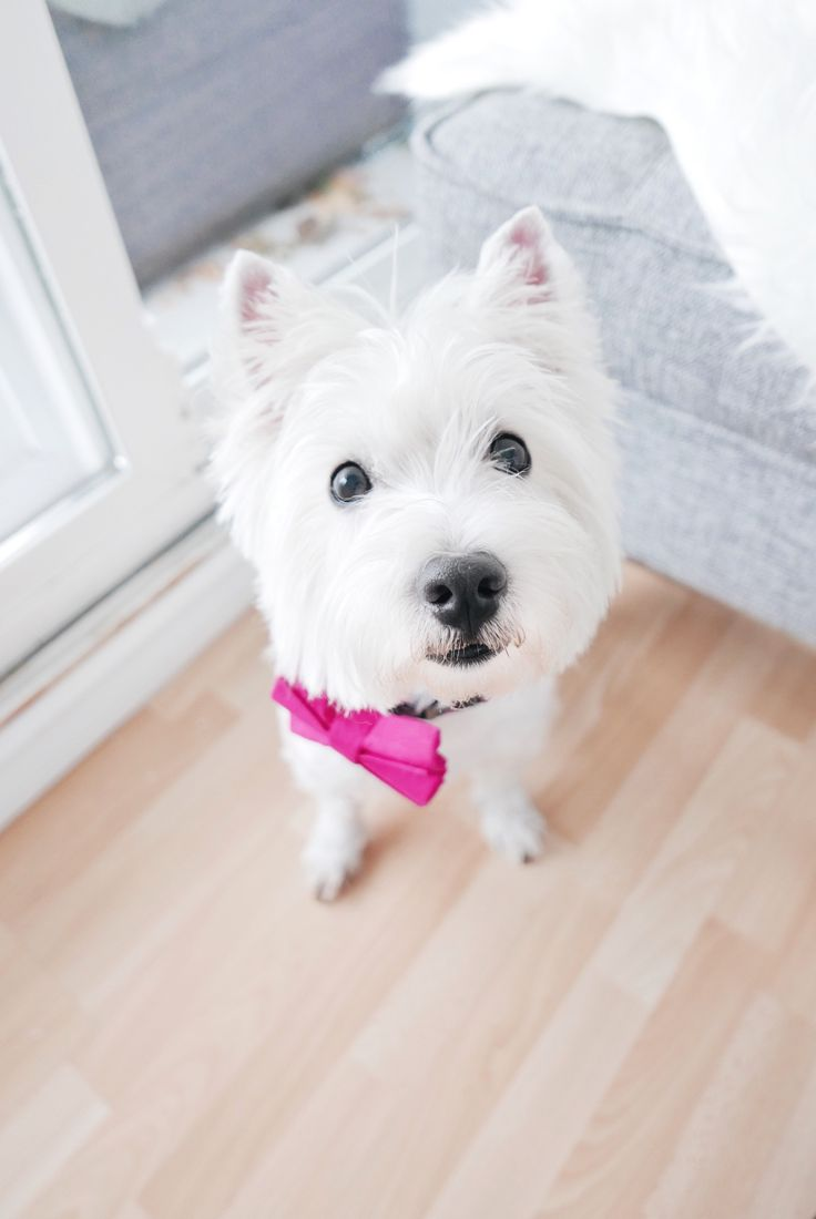 """Westie Lucy with her gorgeous """"Pretty in Pink"""" bow tie from @thriftypup 