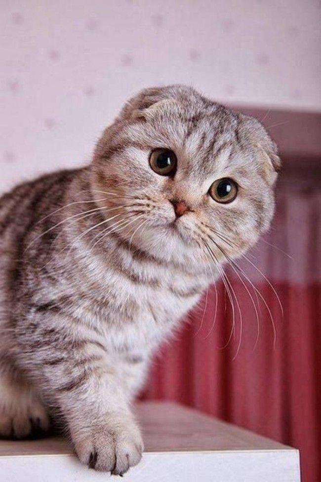 Шотландский вислоухий кот (фото):