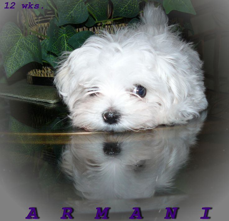 this is a wonderful example of Dreamers Maltese babies, his name is Armani