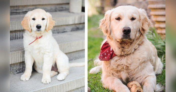 Los cachorros pueden alcanzar su tamaño completo entre los 6 y los 18 meses. Estas son 30 adorables fotografías de cachorros antes y después de crecer