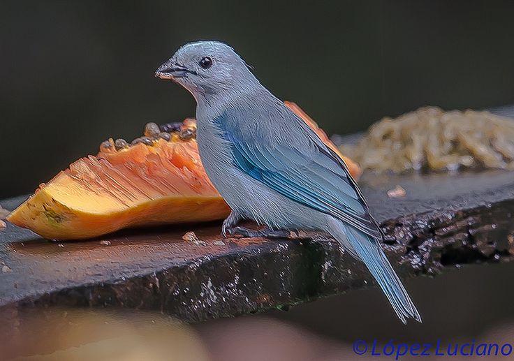 TANGARA AZULADA .(Thraupis Episcopus.)BLUE GRAY TANAGER