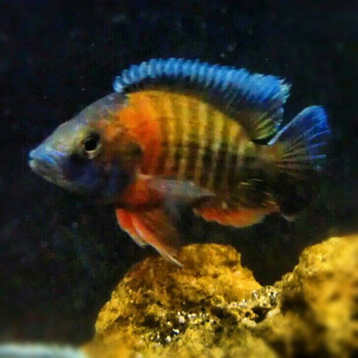1000 Images About African Peacock Cichlids On Pinterest