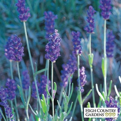 Lavandula angustifolia Mitcham Gray Lavender is part of the August Afternoons Pre-Planned Garden.